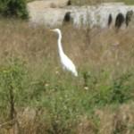 Egret in marshland