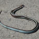 Snake roadkill