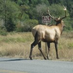 Magnificent elk in front of car