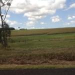 Sugarcane near Rockhampton